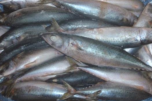 Canned Mackerel Canada, Canned Mackerel Nigeria, Canned Mackerel Perú
